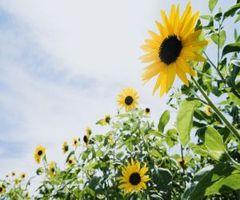 Sun_Flower_7210%5B1%5D.jpg